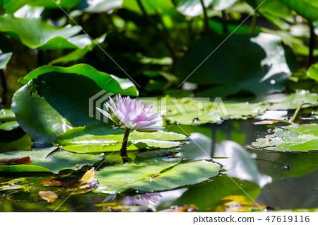 아시아, 대만, 타이난 화이트 강 연꽃 아시아, 대만, 타이난 연꽃 47619116