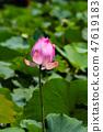 เอเชีย, ไต้หวัน, Tainan White River Lotus เอเชีย, ไต้หวัน, Tainan Lotus 47619183
