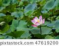 เอเชีย, ไต้หวัน, Tainan White River Lotus เอเชีย, ไต้หวัน, Tainan Lotus 47619200