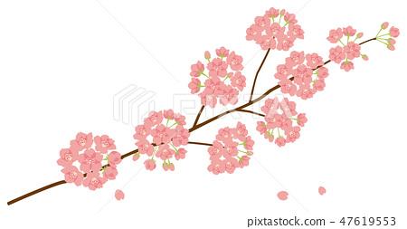 櫻桃樹吉野櫻花盛開 47619553
