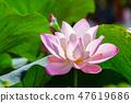 เอเชีย, ไต้หวัน, Tainan White River Lotus เอเชีย, ไต้หวัน, Tainan Lotus 47619686