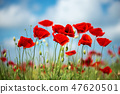 Flowers Red poppies blossom on wild field. 47620501