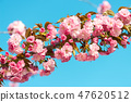 Beautiful cherry blossom , pink sakura flower  47620512