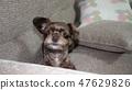 狗和沙發 47629826