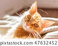 แมว,ขิง,สัตว์เลี้ยง 47632452