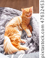 แมว,ขิง,สัตว์เลี้ยง 47632453