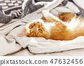แมว,สัตว์เลี้ยง,ลูกแมว 47632456
