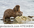 European otter with a playful cub 47634895
