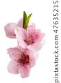 sakura flowers isolated 47635215