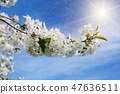 Cherry - Sakura and sun with a natural background. 47636511