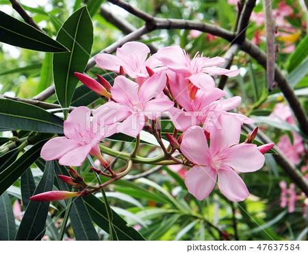 花果植物 47637584