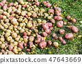 potatoes harvest of different varieties on the grass 47643669