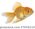 Goldfish on White Background 47649219