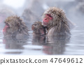지고 쿠 다니 야생 원숭이 공 원의 스노우 몽키 47649612