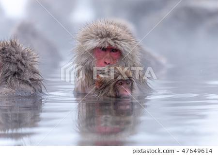 지고 쿠 다니 야생 원숭이 공 원의 스노우 몽키 47649614