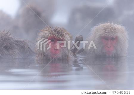 지고 쿠 다니 야생 원숭이 공 원의 스노우 몽키 47649615