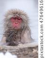 지고 쿠 다니 야생 원숭이 공 원의 스노우 몽키 47649616