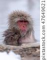 지고 쿠 다니 야생 원숭이 공 원의 스노우 몽키 47649621