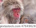지고 쿠 다니 야생 원숭이 공 원의 스노우 몽키 47649628