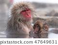 지고 쿠 다니 야생 원숭이 공 원의 스노우 몽키 47649631
