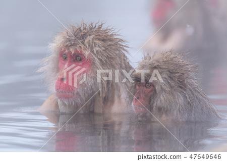 지고 쿠 다니 야생 원숭이 공 원의 스노우 몽키 47649646