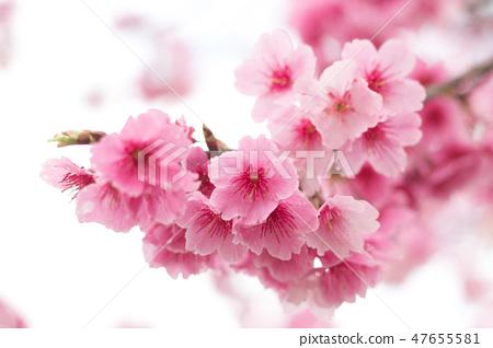 台灣陽明山美麗的櫻花 47655581
