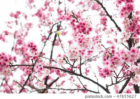台灣陽明山美麗的櫻花 47655627