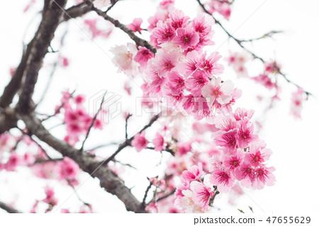 台灣陽明山美麗的櫻花 47655629