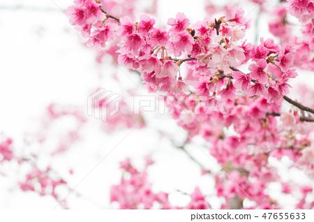 台灣陽明山美麗的櫻花 47655633