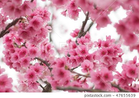 台灣陽明山美麗的櫻花 47655639