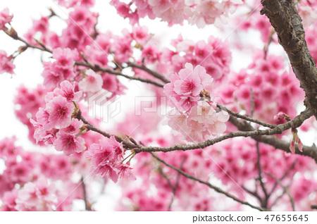 台灣陽明山美麗的櫻花 47655645