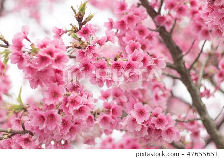 台灣陽明山美麗的櫻花 47655651