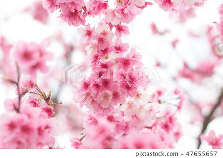 台灣陽明山美麗的櫻花 47655657