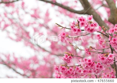 台灣陽明山美麗的櫻花 47655660
