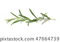 Sprig of fresh rosemary isolated on white background. Rosemary branch 47664739