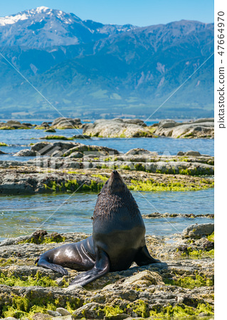 Cute baby seal on seacoast 47664970