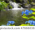 Hydrangea flowing in Shirataki Park 47666036