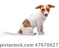 small dog Jack Russell terrier isolated on the white background 47670627