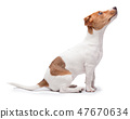 small dog Jack Russell terrier isolated on the white background 47670634