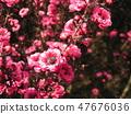 ดอกไม้ที่น่ารักสีชมพูเป็น gyeolbai 47676036