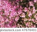 ดอกพีชน้อยน่ารักเอริก้า 47676401