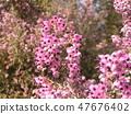 ดอกพีชน้อยน่ารักเอริก้า 47676402