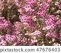 ดอกพีชน้อยน่ารักเอริก้า 47676403