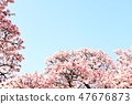 Cherry Blossoms 47676873