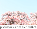 Cherry Blossoms 47676874