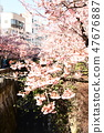 Cherry Blossoms 47676887