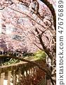 Cherry Blossoms 47676889