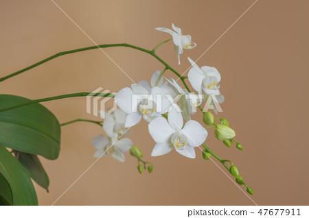 蝴蝶蘭,花朵,花 47677911