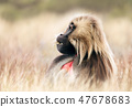 Close up of adult Gelada monkey sitting in grass 47678683