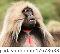 Close up of an adult Gelada monkey 47678688